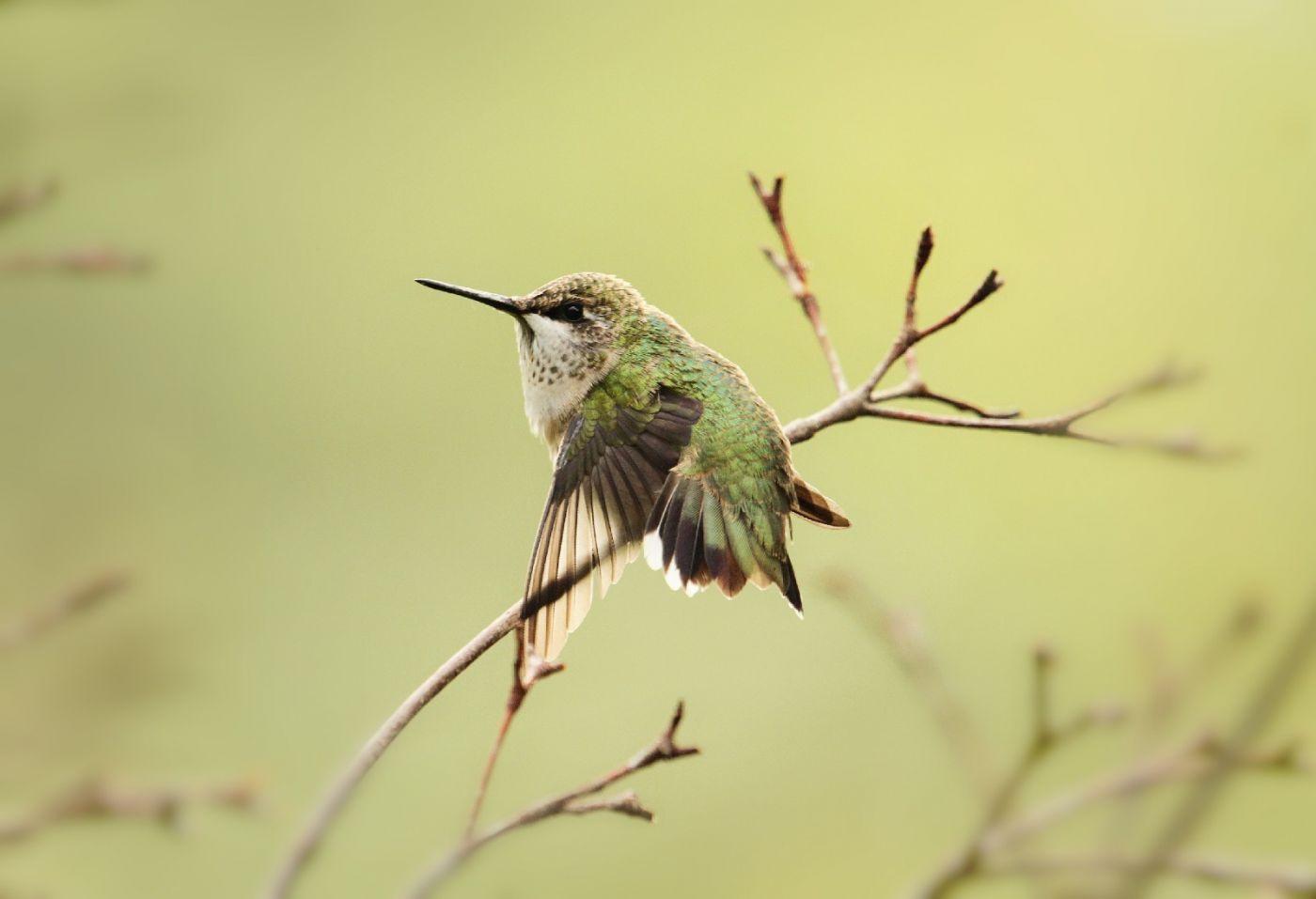 【田螺摄影】在纽约city找蜂鸟拍不难_图1-28