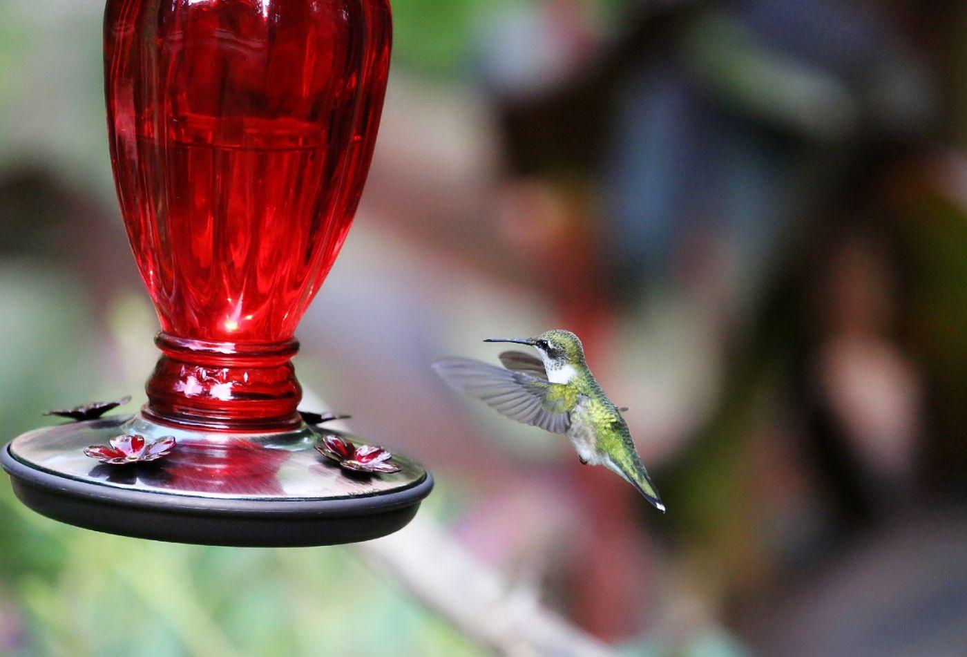【田螺摄影】在纽约city找蜂鸟拍不难_图1-31