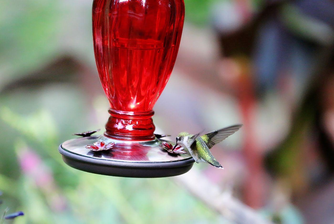 【田螺摄影】在纽约city找蜂鸟拍不难_图1-32
