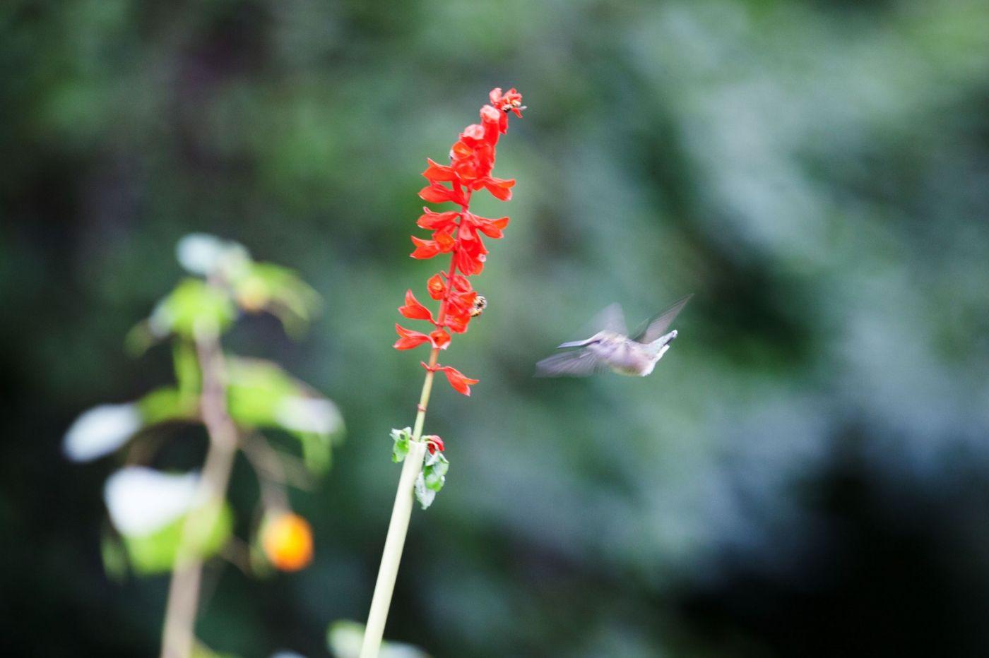初识蜂鸟,初拍蜂鸟!_图1-5