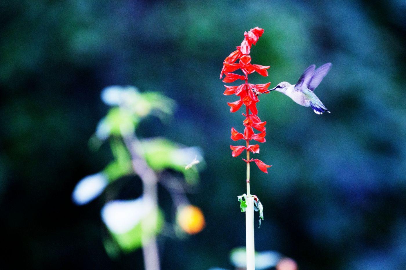 初识蜂鸟,初拍蜂鸟!_图1-19