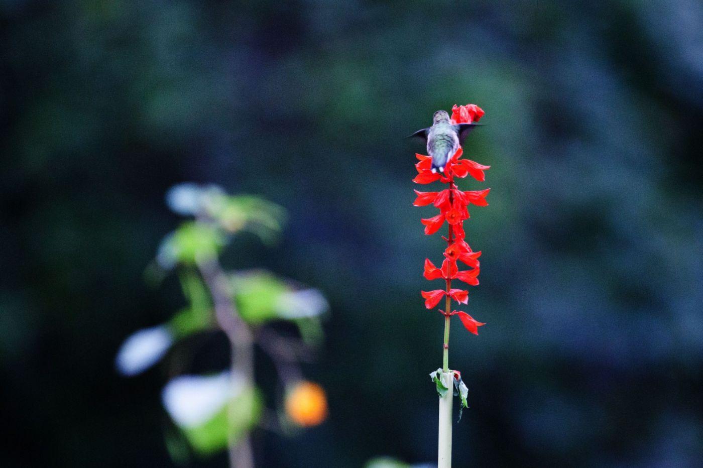 初识蜂鸟,初拍蜂鸟!_图1-20