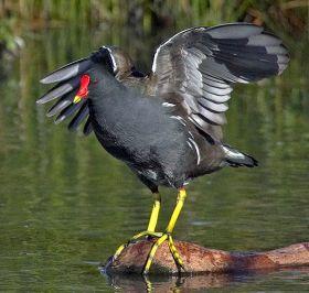 鲍登湖保护区的红冠水鸡