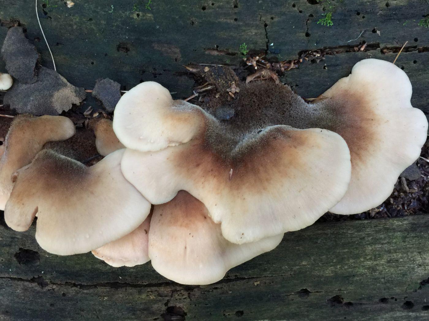 房后小树林拾趣-蘑菇_图1-14