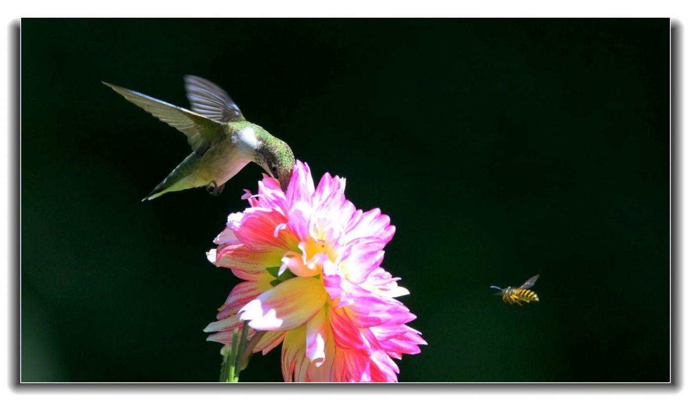 蜂-鸟特写一组_图1-8