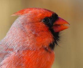 2018年3月.北美红雀