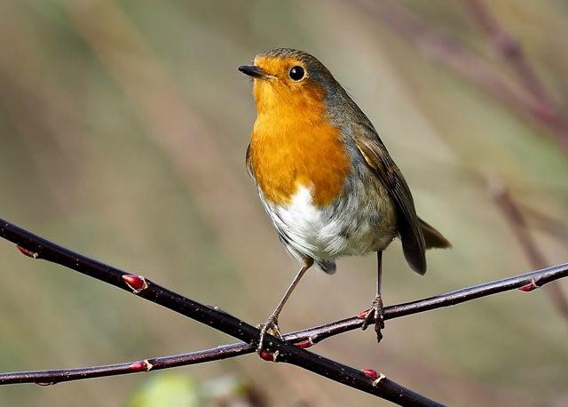 鲍登湖野生保护区之-知更鸟_图1-7