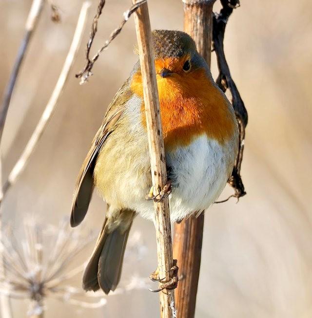 鲍登湖野生保护区之-知更鸟_图1-11