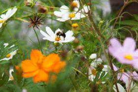 蜂在花丛中