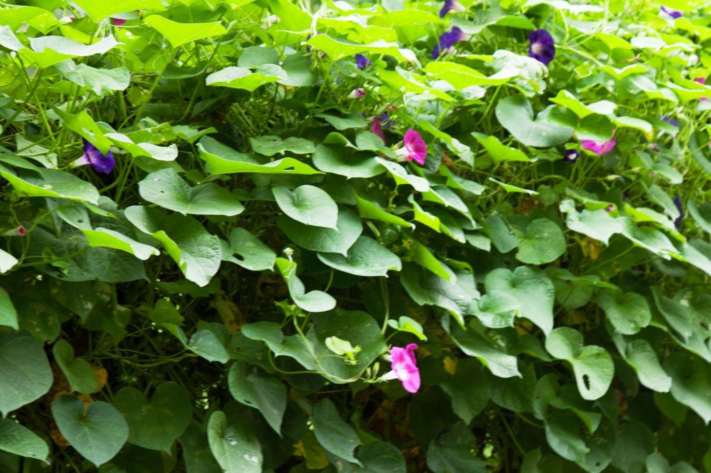 中央公园有一段五,六十米的篱笆,爬满了不同颜色的牵牛花! ..._图1-8