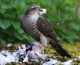 自然界之食物链---苍鹰的午攴
