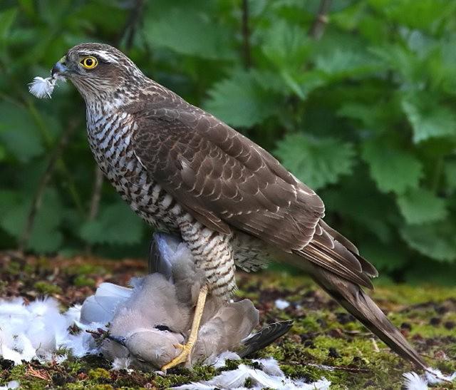 自然界之食物链---苍鹰的午攴_图1-2