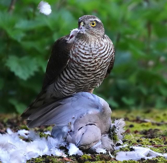 自然界之食物链---苍鹰的午攴_图1-3
