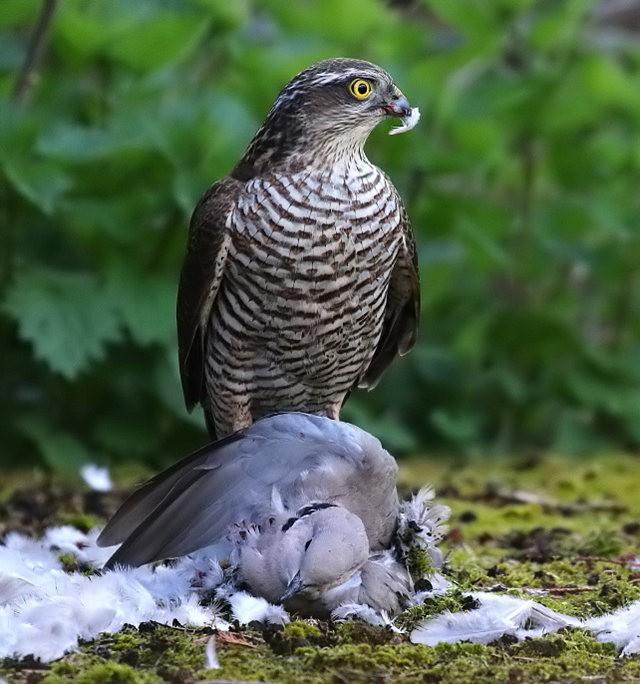自然界之食物链---苍鹰的午攴_图1-4