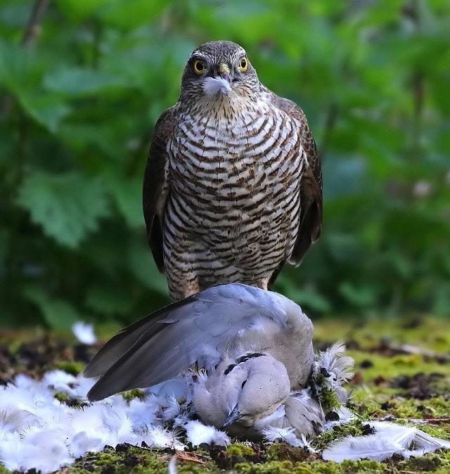 自然界之食物链---苍鹰的午攴_图1-5