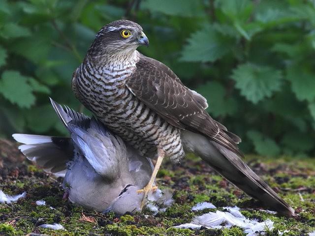 自然界之食物链---苍鹰的午攴_图1-6