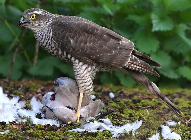 自然界之食物链---苍鹰的午攴_图1-7