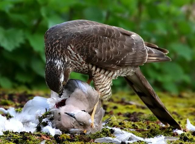 自然界之食物链---苍鹰的午攴_图1-8
