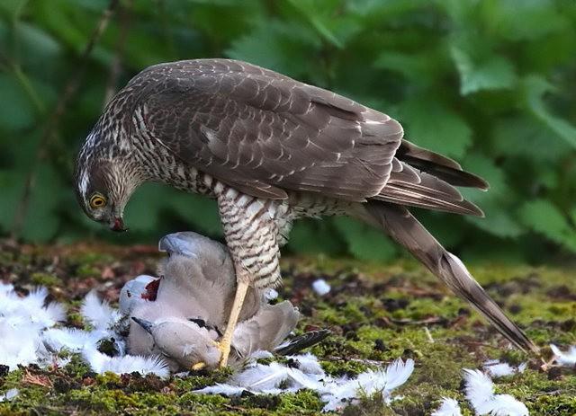 自然界之食物链---苍鹰的午攴_图1-9