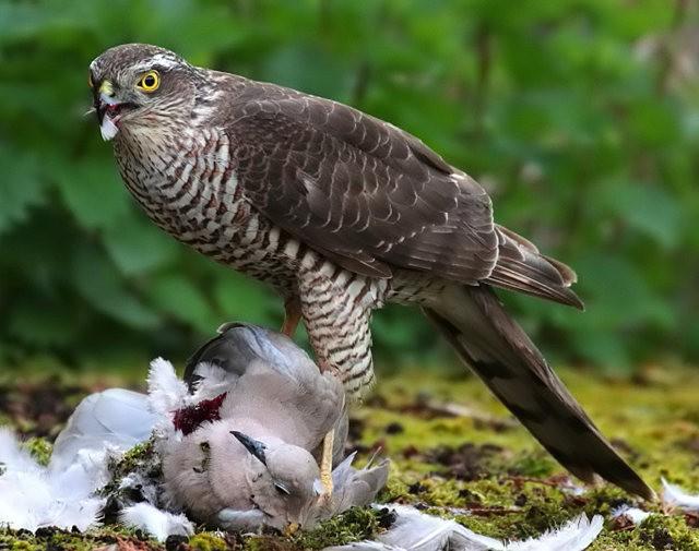 自然界之食物链---苍鹰的午攴_图1-10