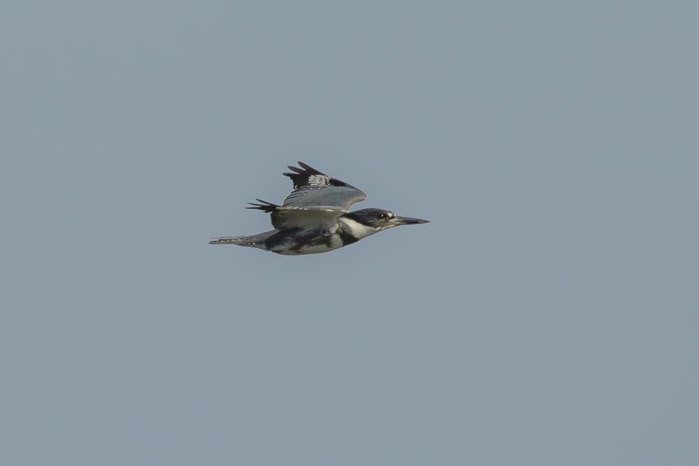 冠鱼狗回来湿地了_图1-2