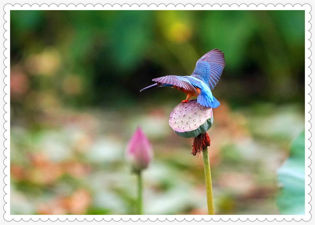 桂香荷秋鸟欢_图1-4