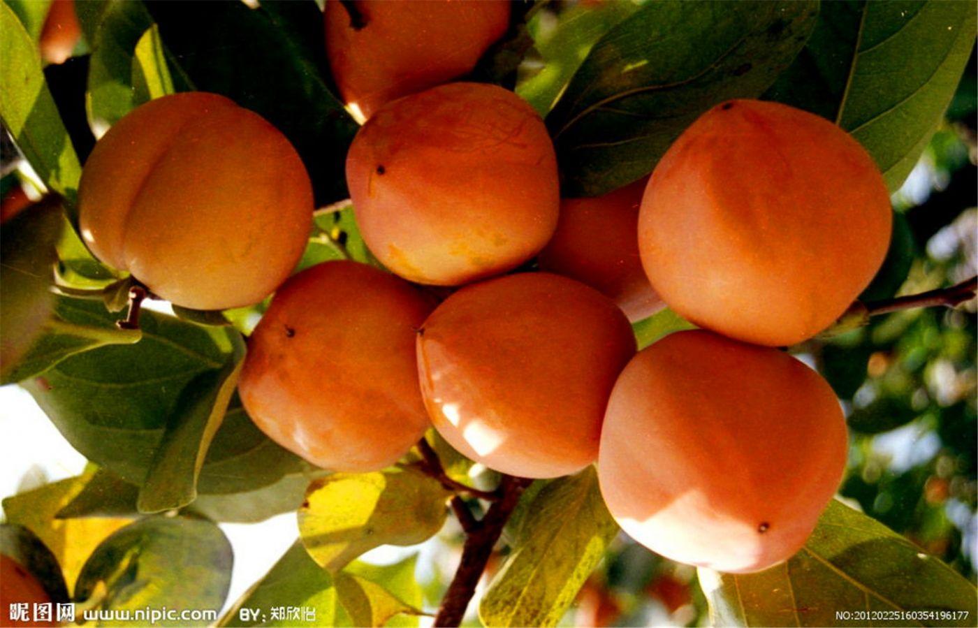 柿子也很漂亮_图1-3