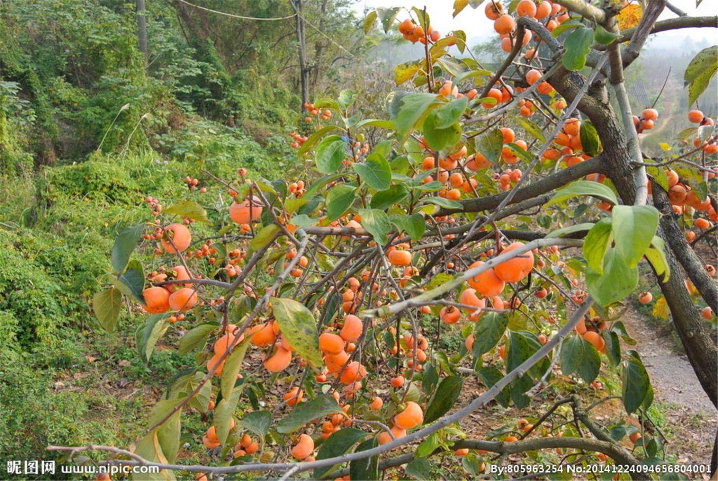 柿子也很漂亮_图1-5