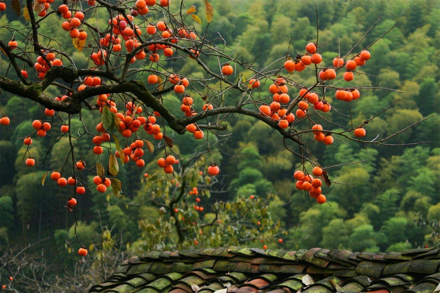 柿子也很漂亮_图1-6