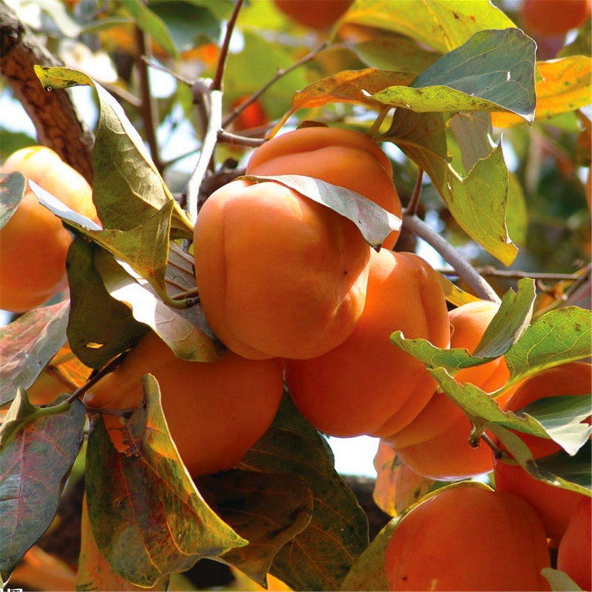柿子也很漂亮_图1-13