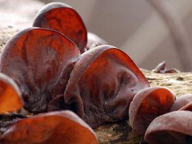 这种真菌叫做黑木耳