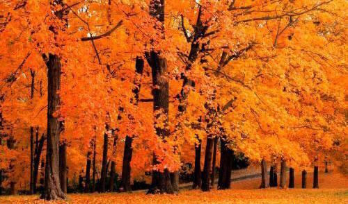 美丽的枫叶林,去过却没这么火红的颜色,很是遗憾_图1-2