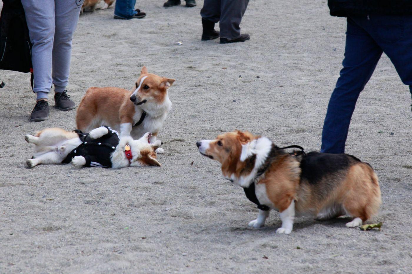 养狗爱好者带了爱犬欢聚一堂,相互交流_图1-18