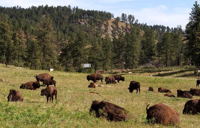 卡斯特州立公园看水牛_图1-3