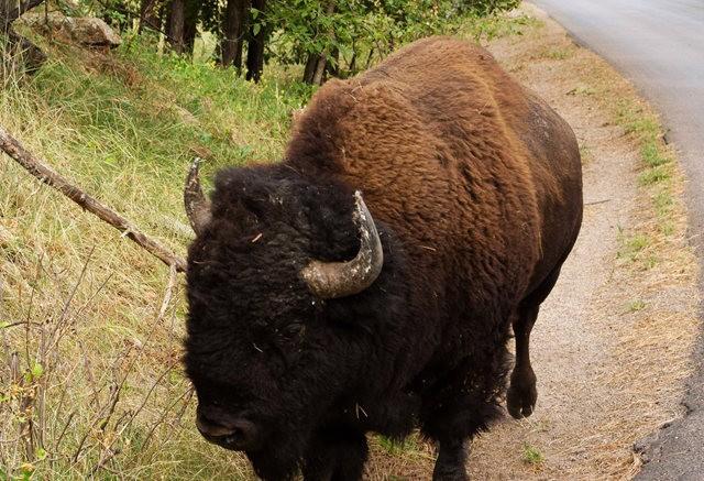 卡斯特州立公园看水牛_图1-4