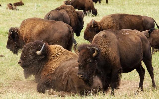 卡斯特州立公园看水牛_图1-5