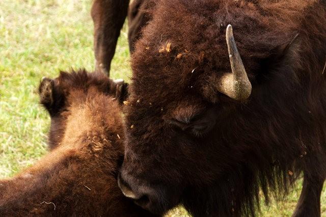 卡斯特州立公园看水牛_图1-6