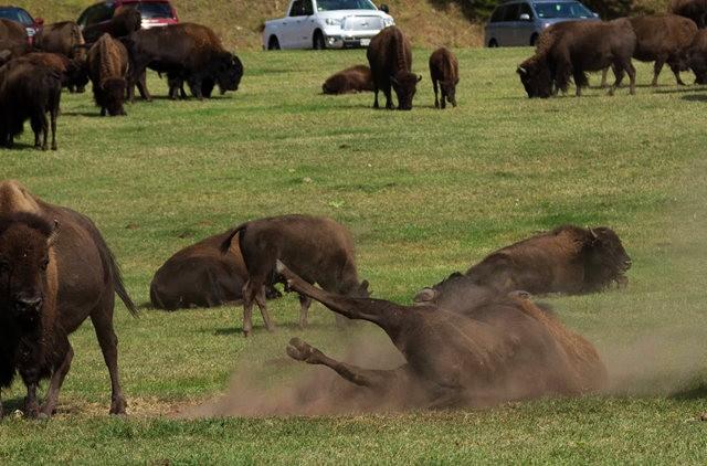 卡斯特州立公园看水牛_图1-7
