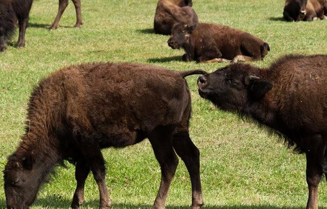 卡斯特州立公园看水牛_图1-8