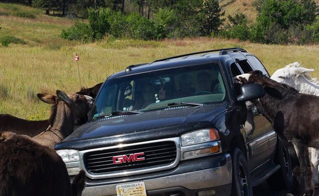 卡斯特州立公园看水牛_图1-16