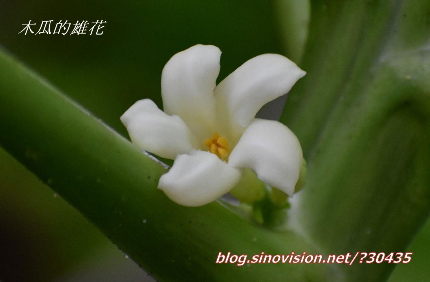 木瓜开花_图1-1