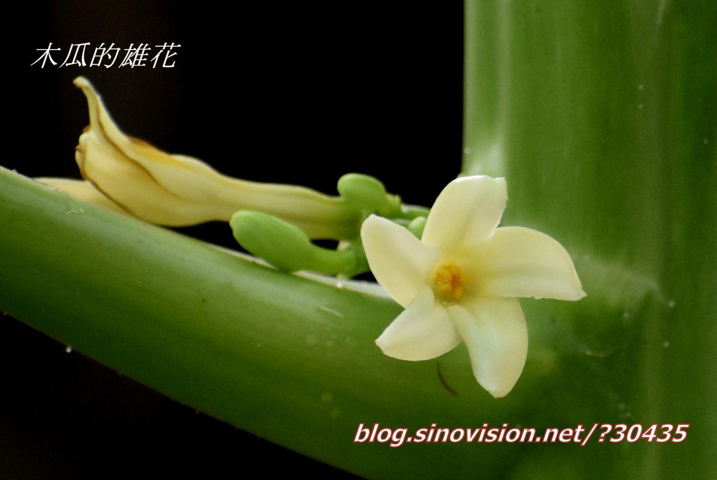 木瓜开花_图1-2