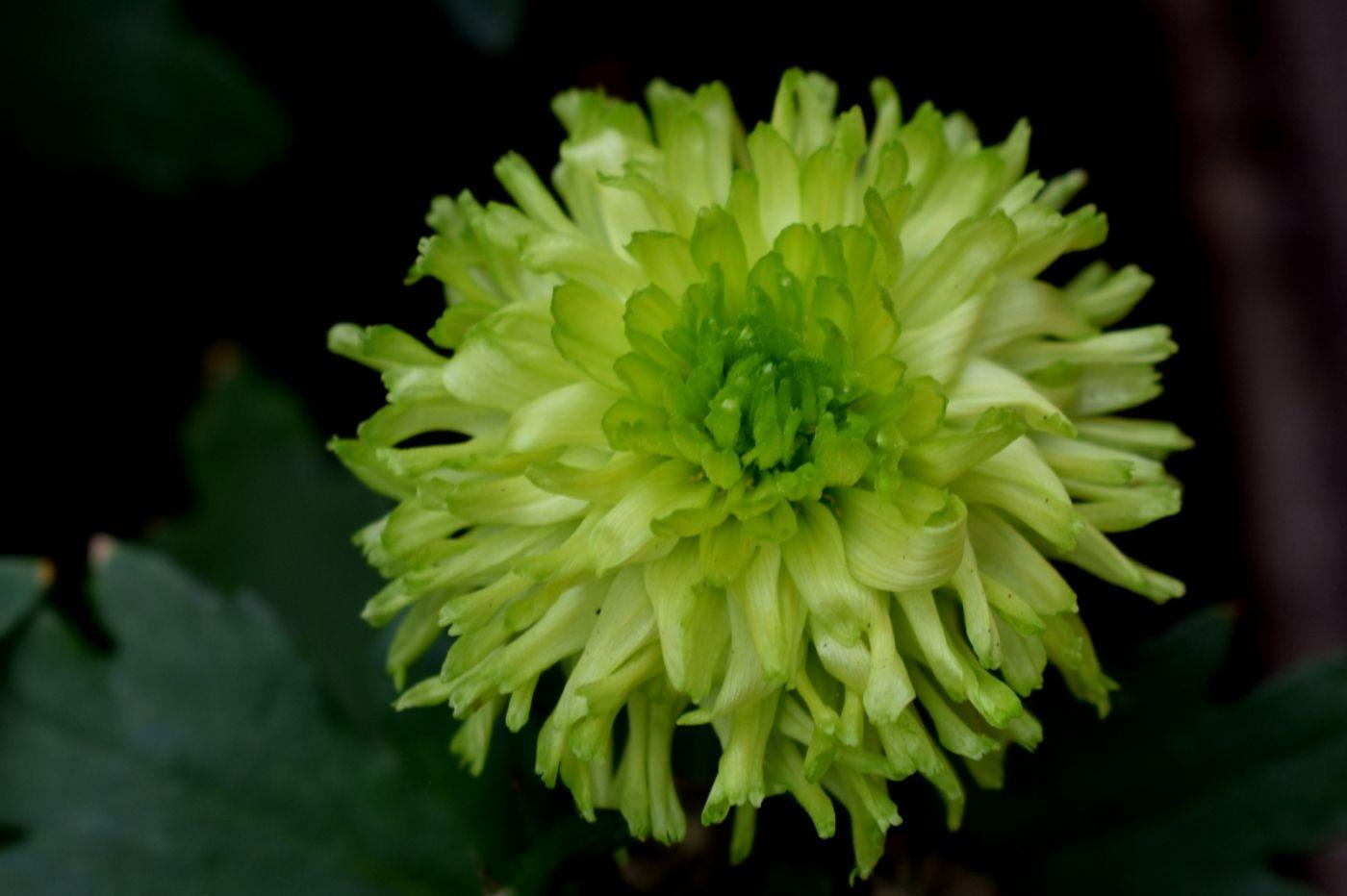 绿色菊花_图1-1
