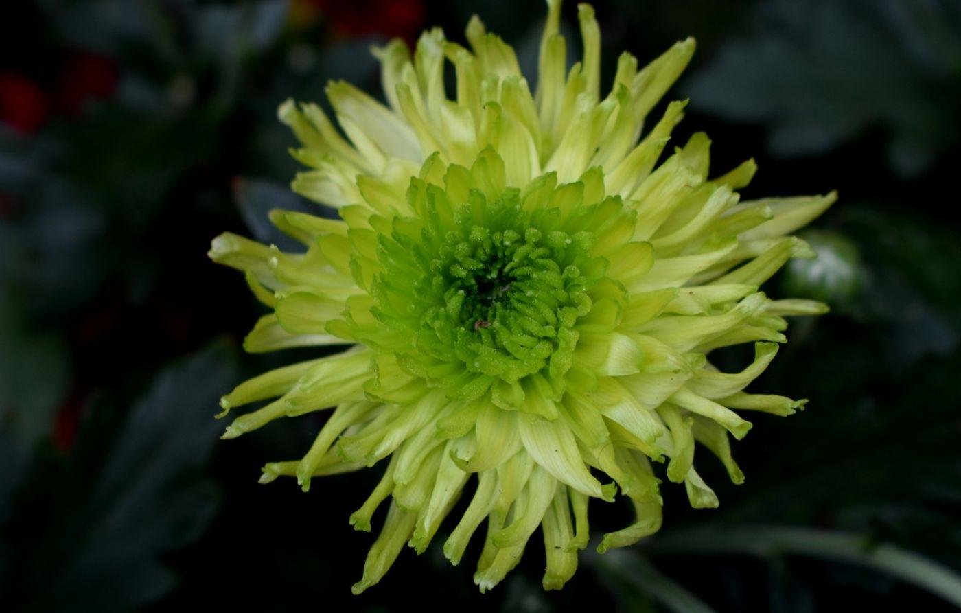绿色菊花_图1-2
