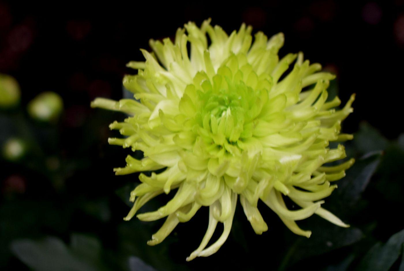 绿色菊花_图1-3