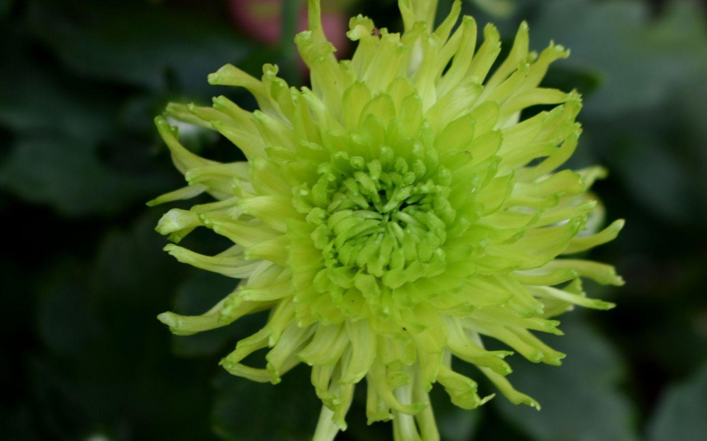 绿色菊花_图1-4