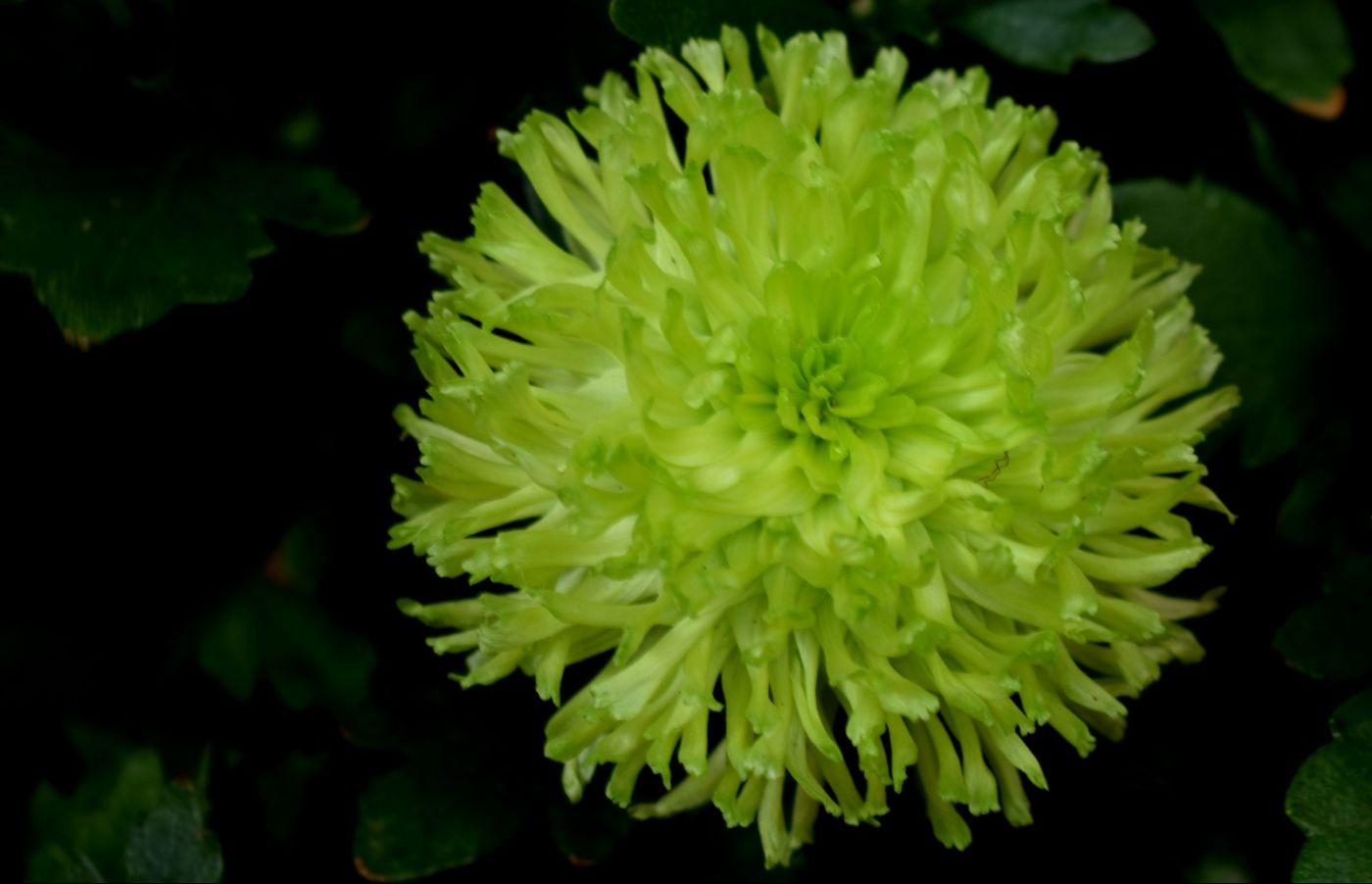 绿色菊花_图1-5