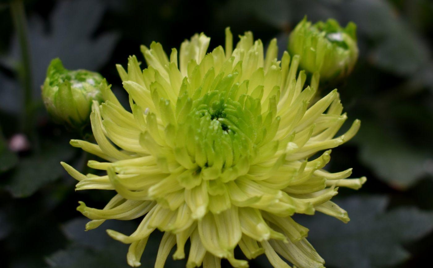 绿色菊花_图1-6