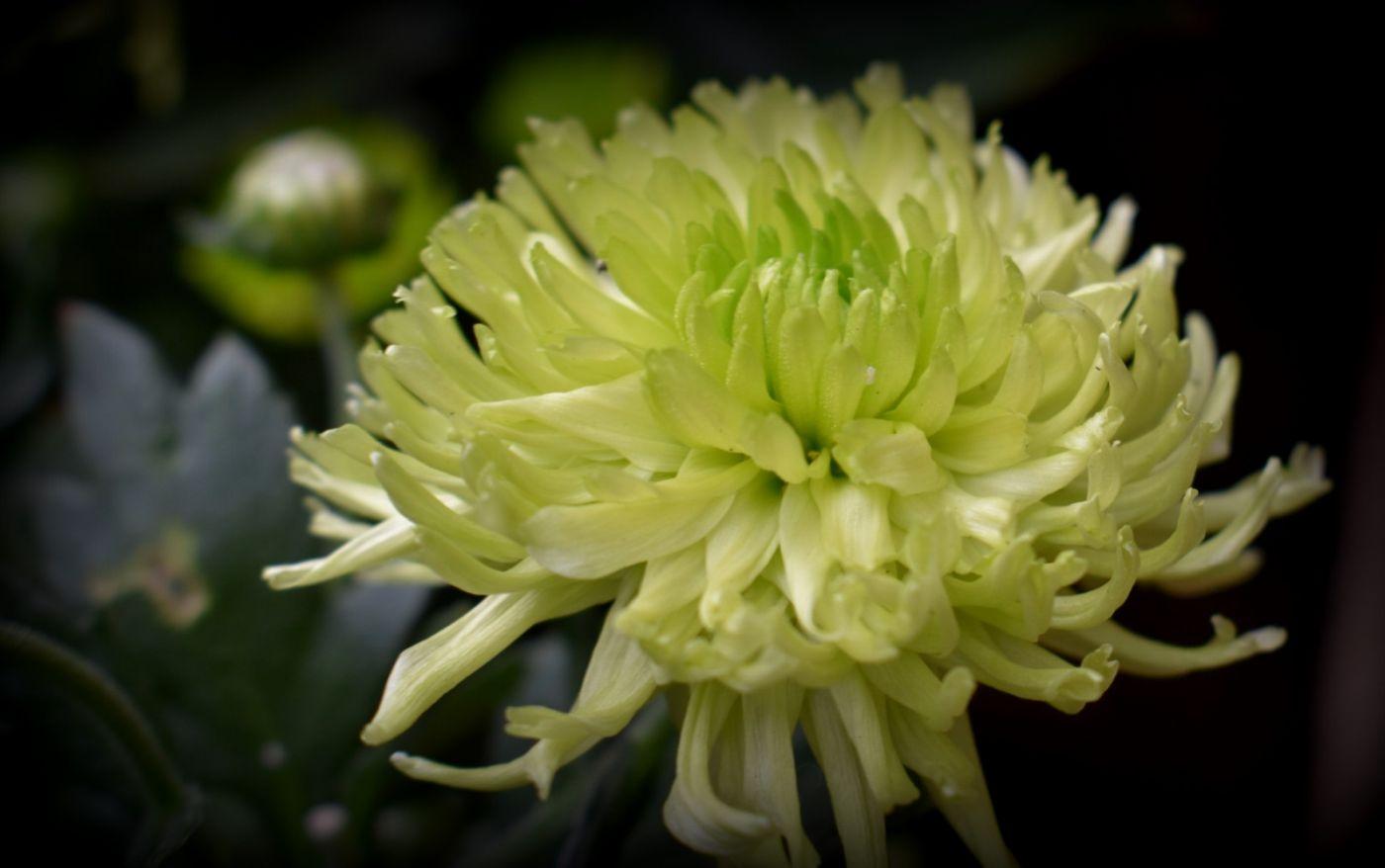 绿色菊花_图1-7