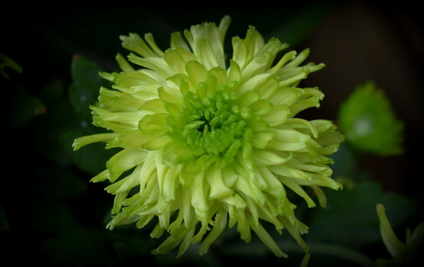 绿色菊花_图1-8